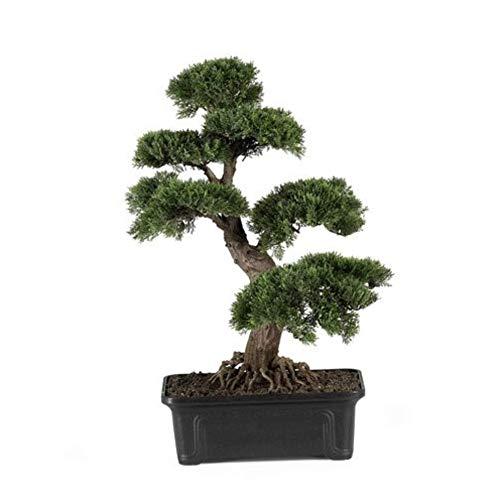 100 Semillas Cedro árbol mini bonsái