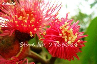 Vente! 100 pcs/sac rares Eucalyptus Graines géant Arbre tropical Graines Angiosperme pour jardin plantation en plein air Bonsai cadeau 21