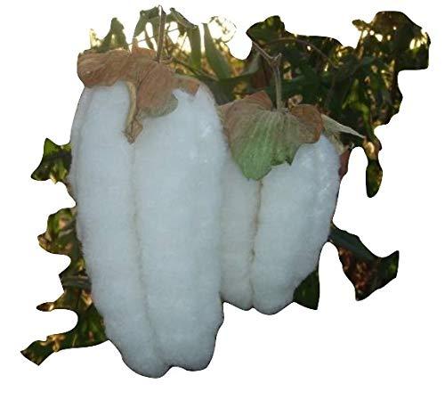 Gossypium arboreum,Baumförmig wachsende Baumwolle, schnellwüchsig, 10 Samen