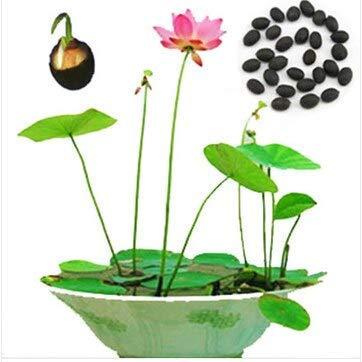 10 Semillas/paquete Plantas hidropónicas Balcón Bonsai Flores Nelumbo Nucifera Semillas Nenúfar