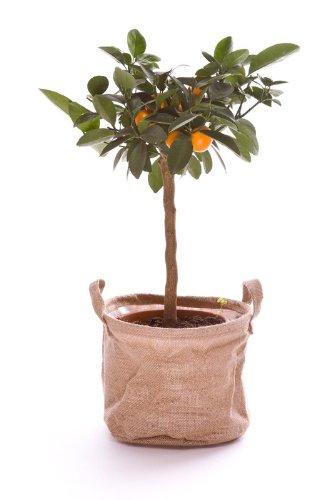 Jardinerie Liste Verte Calamondin - Oranger d'intérieur