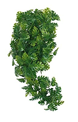 Komodo Split Philodendron Plant, 40 cm from HAPD