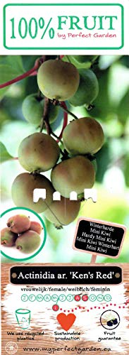 rotfleischige Mini Kiwi (Actinidia arguta), Sorte: Kens Red, kräftige winterharte Pflanze, (2er Set, 1 weibliche und 1 männliche Pflanze)