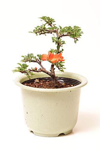 【苗木 庭木】長寿梅ポット苗 花色選べます ギフトプレゼントに (赤花)