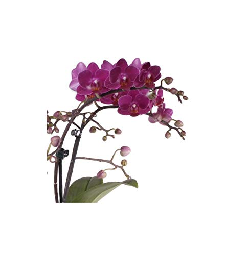 Stk - 1x Phalaenopsis Präsent epiphytisch violett Meristem Orchidee OW247 - Seeds Plants Shop Samenbank Pfullingen Patrik Ipsa
