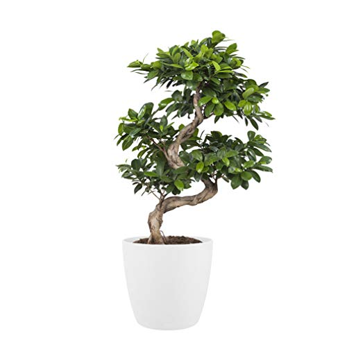bonsaï de Botanicly – Bonsaï en pot de fleur blanc comme un ensemble – Hauteur: 70 cm – Ficus Gin Seng