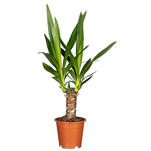Florado Yucca Palme, Palmlilie, echte Zimmerpflanze, Pflanze, Topfgröße 12cm