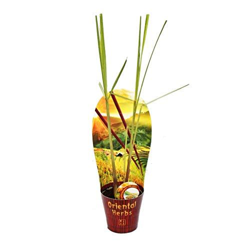 Lemongrass, Cymbopogon citratus, 12cm Pot