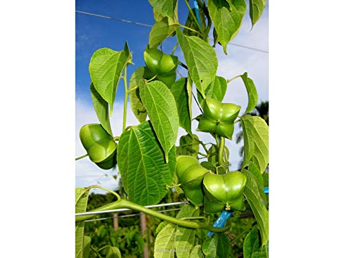 10pcs rare graines de jasmin blanc plante jasmin plantes grimpantes graines fleurs graines bonsaï fleurs de jardin pures graines plantes en plein air