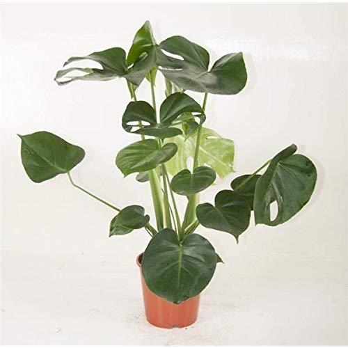 Monstera delicosa 50 cm Köstliches Fensterblatt Zimmerpflanze
