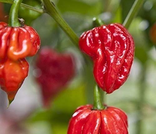 Portal Cool 20 semillas Naga Viper Chili Pepper extremadamente caliente Raras titular de la herencia récord mundial
