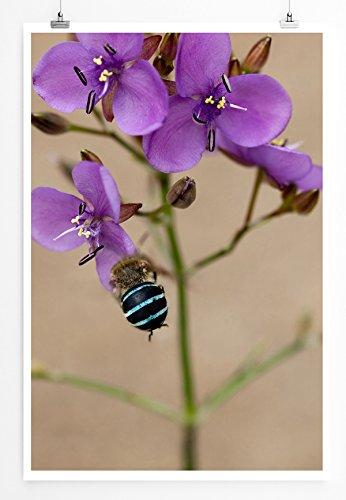 Eau Zone Home Bild - Naturbilder – Australische Wildblume Murdannia graminea- Poster Fotodruck in höchster Qualität