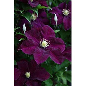 Amazon Com Mabes Warehouse 25 Dark Purple Clematis Seeds Large