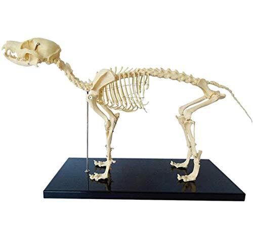 Modelo de muestra de esqueleto de perro, Instrucción de anatomía animal y biología humana herramienta de demostración de enseñanza veterinaria