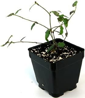 Tahitian Bridal Starter Plant