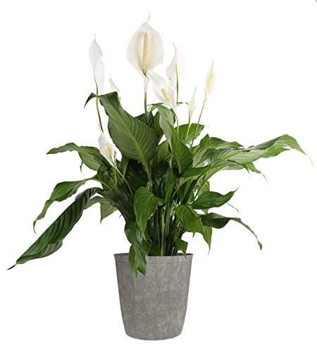 Costa Farms Peace lily, Spathiphyllum Live Indoor Plant, 3-Foot
