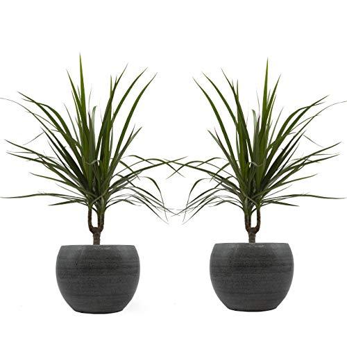 Drachenbaum marginata-Duo mit handgefertigtem Keramik-Blumentopf