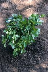 Bio Graines de l?gumes???Suffolk herbes Persil italien g?ant???Flux Lot