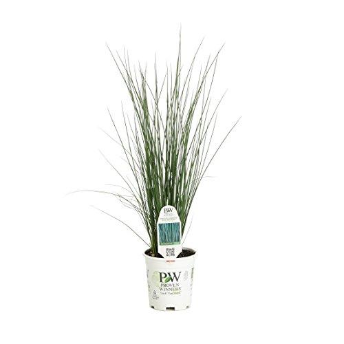 Graceful Grasses Blue Mohawk Soft Rush(Juncus) Live Plant,Blue-Green...