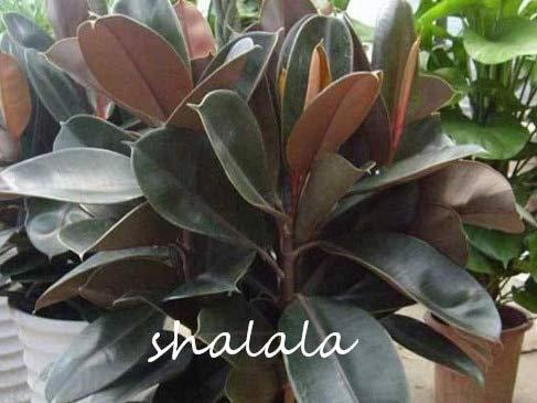 """Ponak Nuevas 50 PC Ficus Elastica""""Decora"""" semillas de plantas para jardinería negro"""