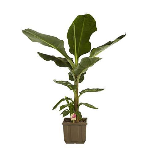 Musa Dwarf cavendish - Zwerg-Essbanane 80-100 cm Zimmerpflanze