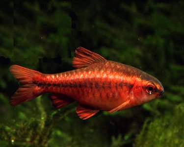 WorldwideTropicals Live Freshwater Aquarium Fish - (6) 1' Cherry Barbs - 6 Pack of 1 Cherry Barb - Puntius Titteya - by Live Tropical Fish - Great For Aquariums - Populate Your Fish Tank
