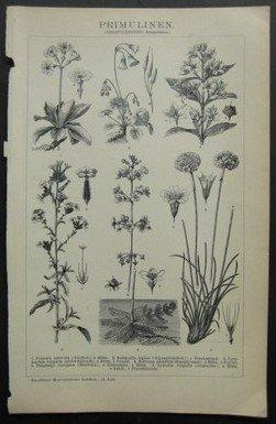 Primulinen (Dikotylodonen: Sympetalen).