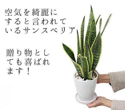ブルーミングスケープ『サンスベリア・ホワイト陶器鉢丸ロング』