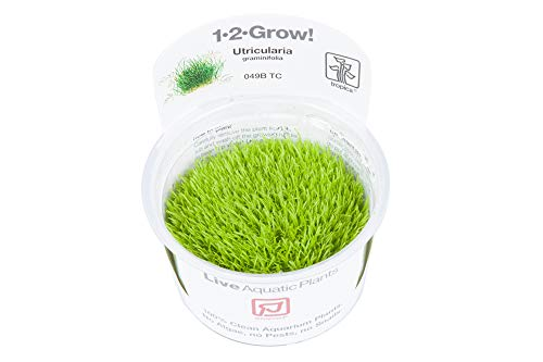 Tropica 1-2-GROW! Utricularia graminifolia - Grasblättriger Wasserschlauch - In-Vitro Aquariumpflanze