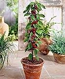 Germination Seeds:Seeds » Prunus Avium (Cherry) Variety Columnary´Queen Mary´5 Fresh Seeds