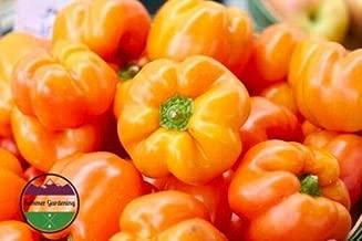 Heirloom Organic Golden Cal Wonder Sweet/Bell Pepper 100 Seeds