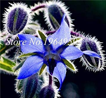 100 PC/Beutel Kaufen Borretsch Blumen Semente Pflanze Borago Officinalis Flower Garden Mix Colors So Beautiful & Hell: 11