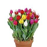 PPOOLLK Tulipanes Bola Tulipán holandés Multicolor Big Ball Park Verde Cotuby Agua Personas 8 Cm - 10