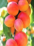 Pianta o Albero da frutta di Albicocco o Albicocche varietà Cafona età pianta 2 anni