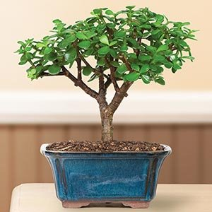 Dwarf Jade Bonsai Tree Mother's Day Gift
