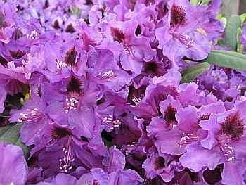 Rhododendron hybr. Blauer Traum -
