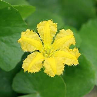 (ビオトープ)水辺植物 アサザ レモンイエロー花(1ポット) 浮葉植物 (休眠株)