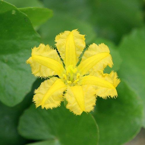 (ビオトープ)水辺植物 アサザ レモンイエロー花(1ポット) 浮葉植物