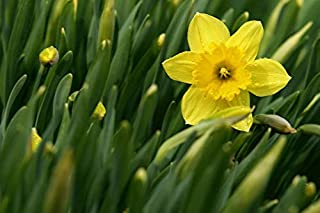Daffodil Bulb- Mando, Long Lasting, Easy Care, Deer Resistant perennials~ Fall