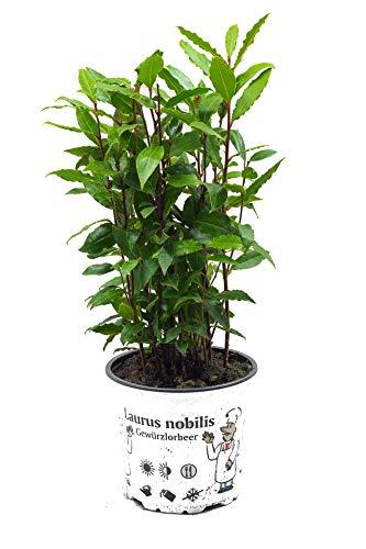 Lorbeer Pflanze, gewürzlorbeer, Laurus nobilis, im 15cm Topf
