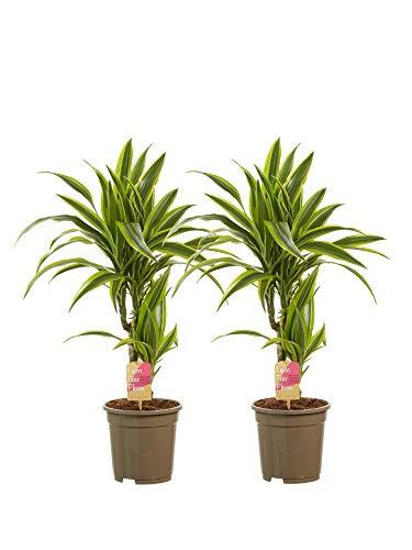 Zimmerpflanzen von Botanicly – 2 × Drachenbaum – Höhe: 70 cm, 2 Triebe – Dracaena derem. Lemon Lime