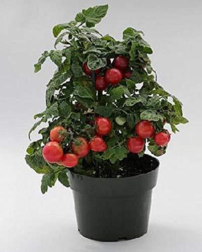 PLAT FIRM GRAINES DE Germination: Süße N Ordentlich Rouge Cerise Tomate semences