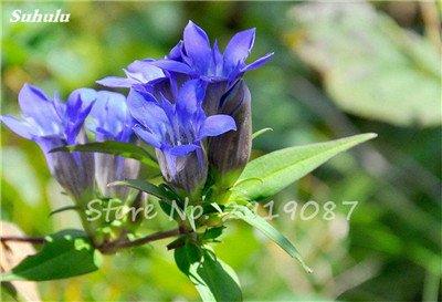 Bonsai Pflanzen 100PCS Großblatt enzian Samen Mehrjährig blau Samen Blooming Pflanzen DIY Home Garten Haushalt Show In Picture 4