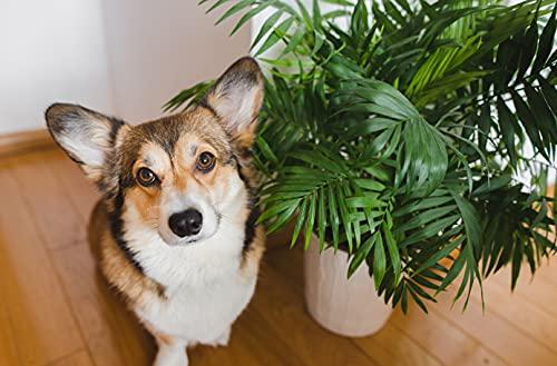 "American Plant Exchange Chamaedorea Elegans Parlour Palm Live Indoor Houseplant, 6"" Pot, Light Green Air Purifier"