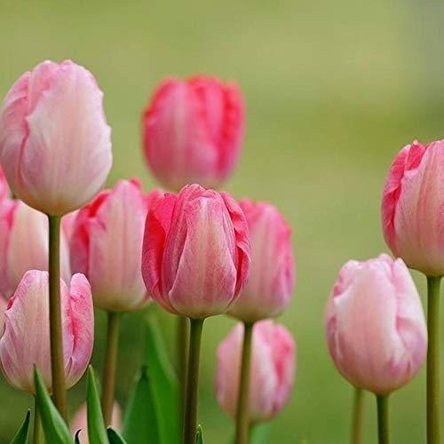 TankMR Boerderijen Zaden 100 Stks Tulp Zaden Tuin Buiten Potted Bonsai Parfum Bloem Perennial Plant voor Tuin Balkon/Patio OneSize roze