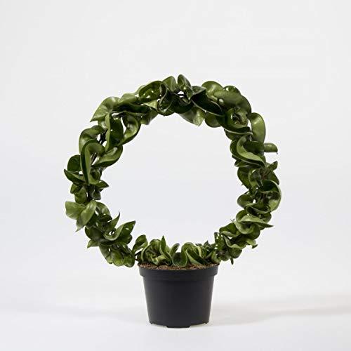 Wachsblume am Bogen 30 cm Hoya carnosa Compacta Porzellanblume Zimmerpflanze