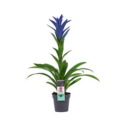 Flor de Botanicly – Bromelia – Altura: 55 cm – Guzmania Ocean Blue