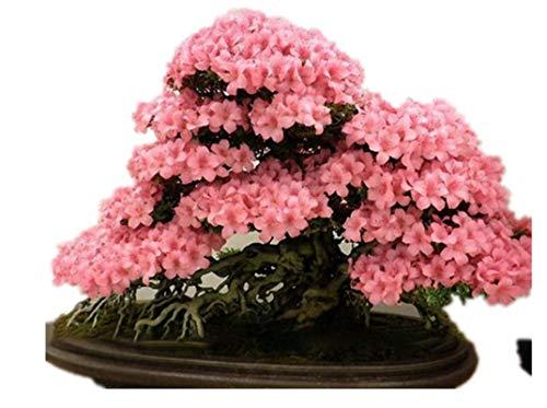 KINGDUO 10Pcs Sakura Fleur Graines Rose Cherry Blossom Arbre Bonsaï Jardin De Plantes Vivaces Rares-Rose