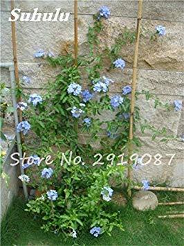 50 Pcs chaud haute neige rouge Graines de fleurs, et la cour Perennial Little Garden décoratif Sac à bulles * Meilleur Bonsai Accueil Regarder 3