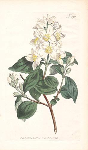 Philadelphus Coronarius - Blumen flower Blume botanical Botanik otanical Botany